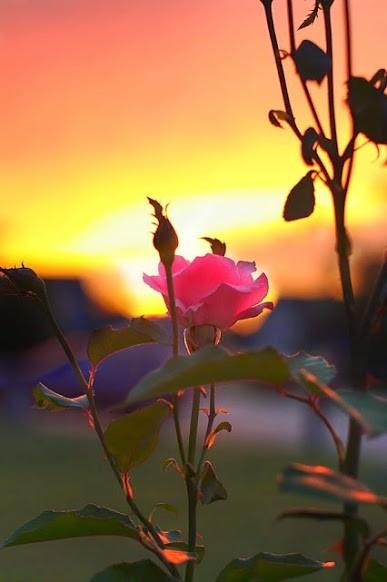 Rose Sunset