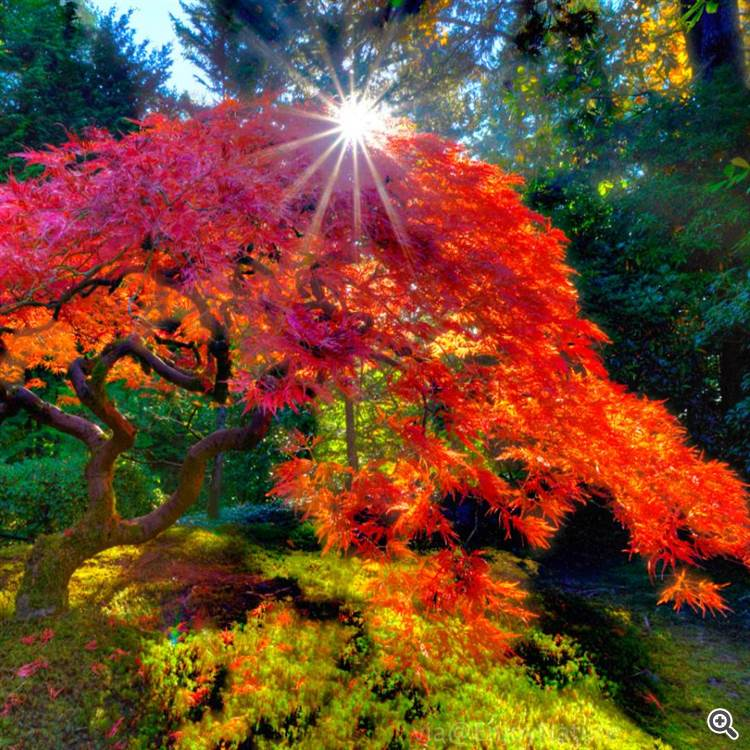 Japanese red maple tree and autumn sunshine