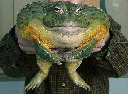 африканская жаба