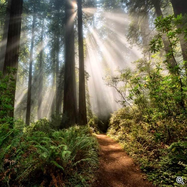 Walking on a road of light in a redwood forest