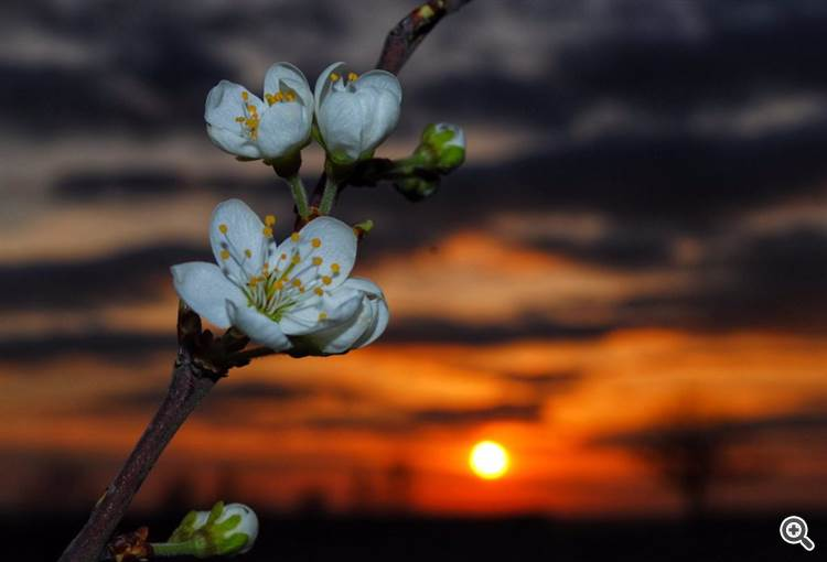 Blossom at sunset near Ely, Cambridgeshire by Veronica