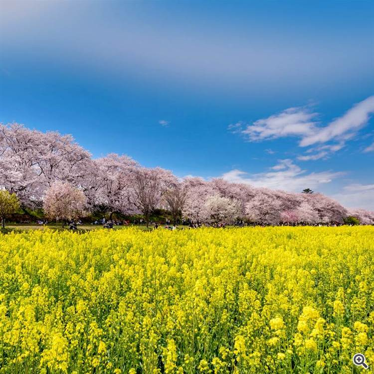 Yellow rapeseed flowers and pink cherry blossoms forest