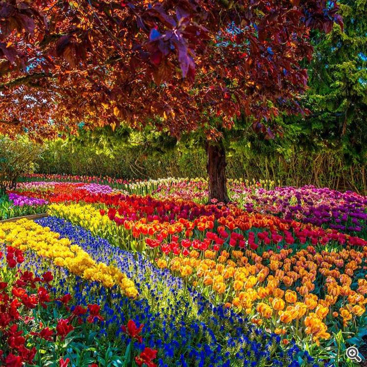 Colorful morning and tulips country garden