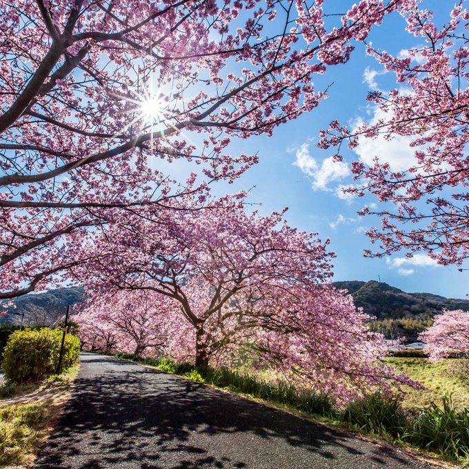 Beautiful spring day and cherry blossom trees