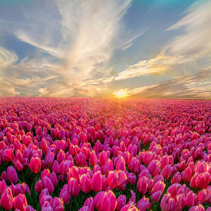 Beautiful evening with colorful sky and pink tulips