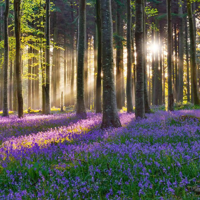 Magical purple forest with sun rays in the morning