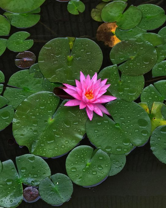 Water Lilly on a Rainy Day