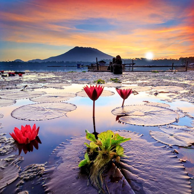 Water lily or Indian lotus lake and summer sunset