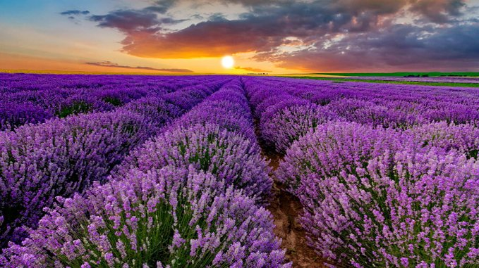 Golden morning sunlight flaring over a field of colorful purple lavender
