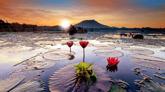 Golden hour over calm lake with water lily or Indian lotus flowers