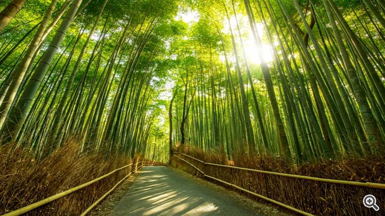 Beautiful morning with bamboo forest path in the sunshine