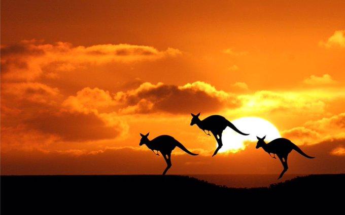 Kangaroos at sunset, Australia