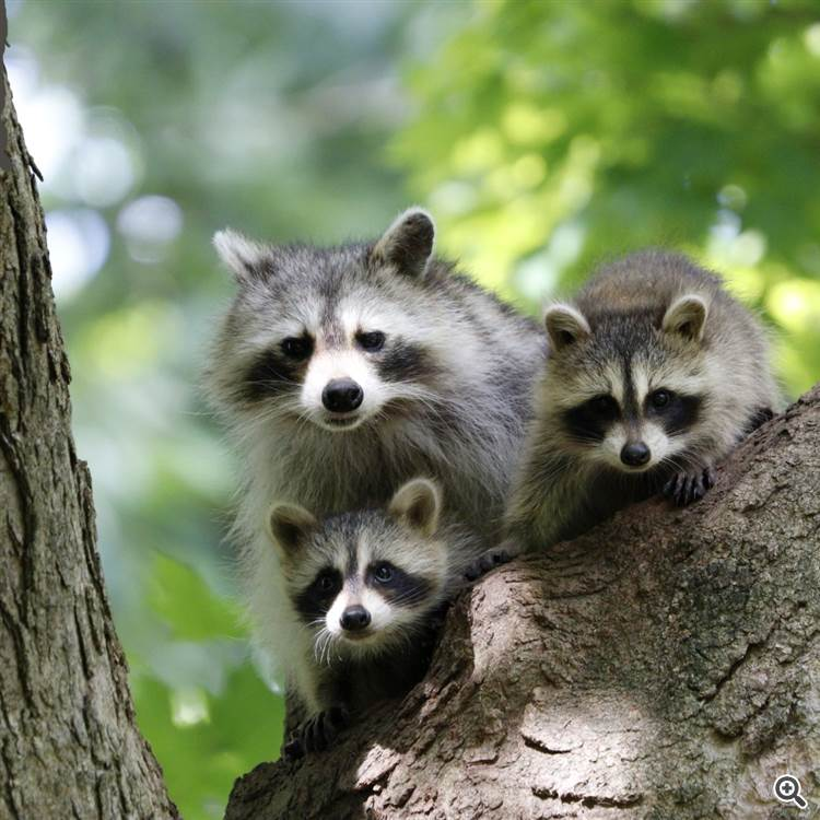 Beautiful green forest with sun beams and cute raccoons