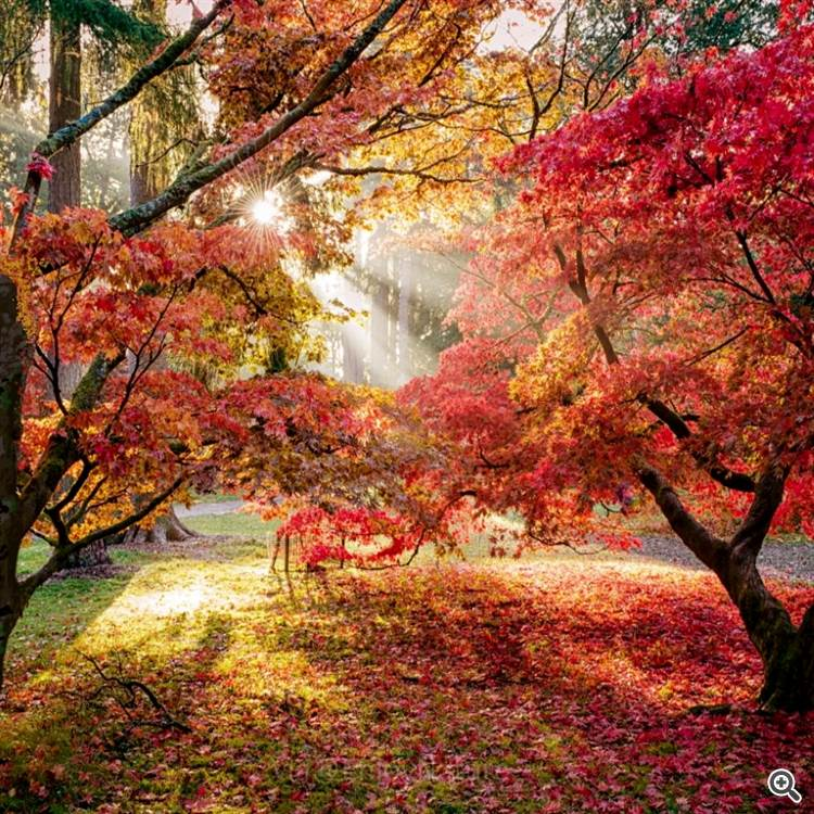 Sun rays on red maple tree and park with pond in autumn