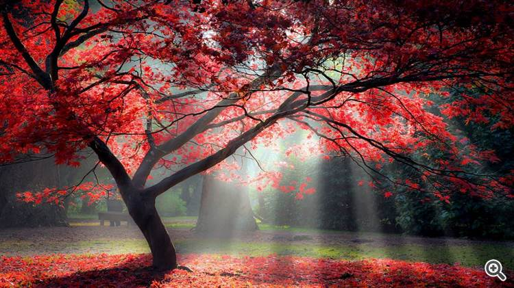 Magical red maple tree with colorful foliage lit by the morning sun