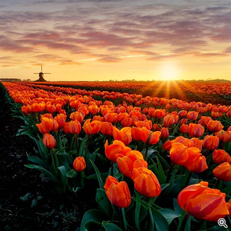 Stunning sky and colorful clouds over red poppy and tulips field