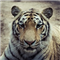 The Tiger EA