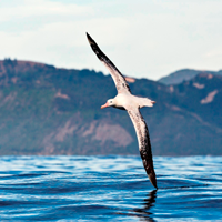 Albatross 4