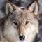 Wolf Scalper Pro
