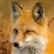 Fox Trader Pro