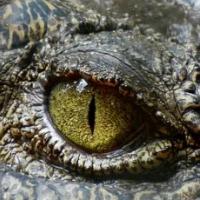 Crocodile Trader Pro