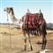 Camel Trader Pro