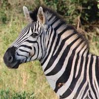 Zebra Crazy Pro
