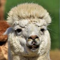 Llama Crazy Pro MT5