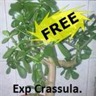Exp Crasula free