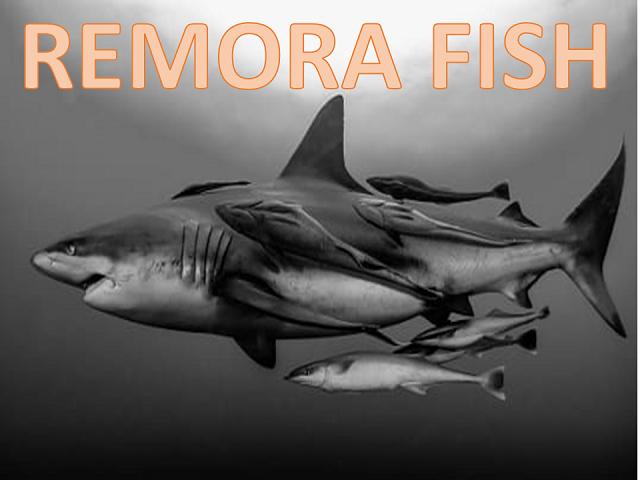 Remora fish Mt5