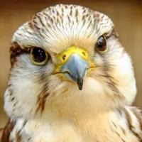 Falcon Scalper Pro