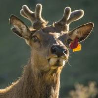 Reindeer Scalper Pro
