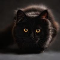 Hunting Cat EA
