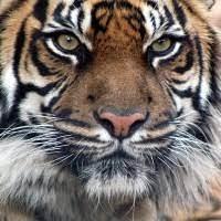 Tiger Ind1