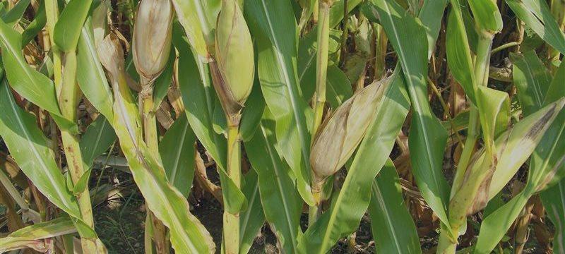 ¿Y qué tal invertir en maíz?