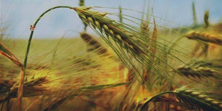 En 19 días, Brasil importa 313 mil toneladas de trigo a EUA