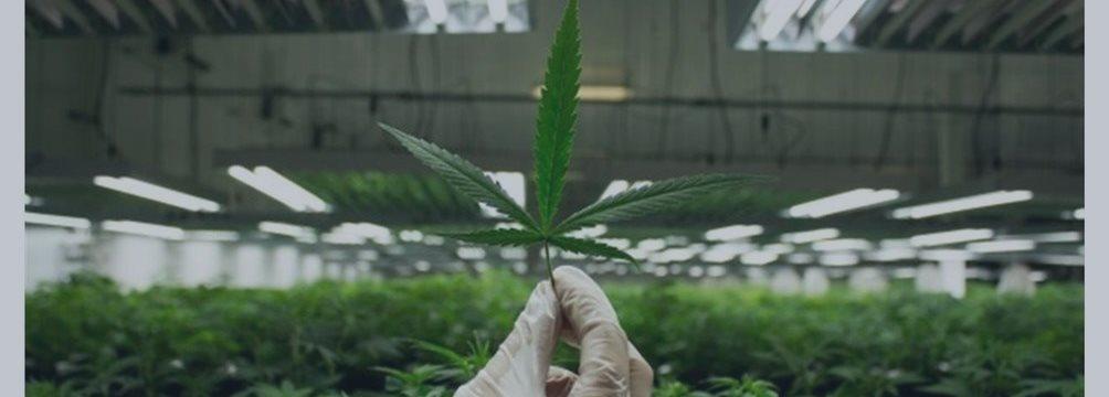 Microsoft поможет отслеживать легальные продажи марихуаны