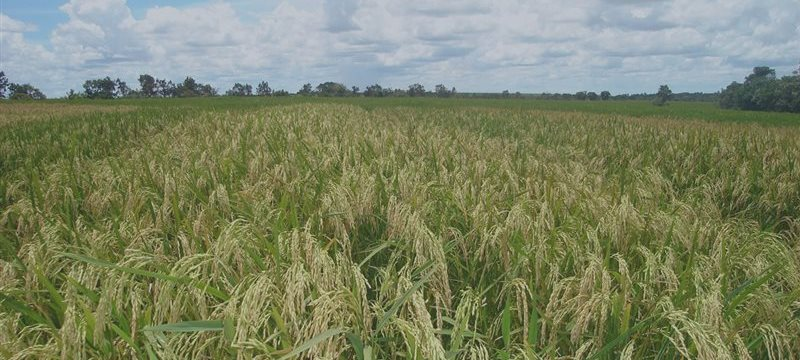Japón reanuda sus exportaciones de arroz producido en Fukushima